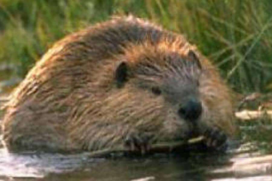 beavers-81180